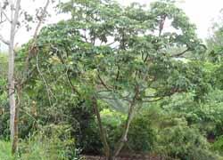 IPA-Mexican-Bean-Tree2-250