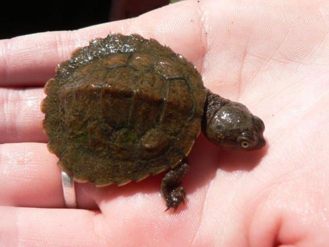 cutmore baby turtle